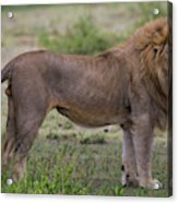 Africa Tanzania Male African Lion Acrylic Print