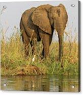 Africa, Zambia Elephant Next To Zambezi Acrylic Print