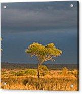 African Acacia Sunrise Acrylic Print