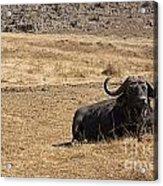 African Buffalo V2 Acrylic Print