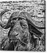 African Buffalo V4 Acrylic Print