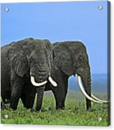 African Bull Elephants In Rain Endangered Species Tanzania Acrylic Print