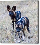 African Cape Hunting Dogs Acrylic Print
