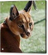 African Caracal Lynx  Acrylic Print