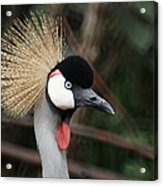 African Crowned Crane Acrylic Print