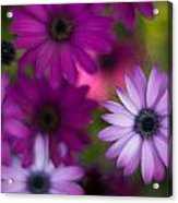 African Daisy Collage Acrylic Print by Mike Reid