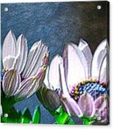 African Daisy Detail Acrylic Print