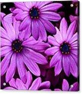 African Daisy Photo Digital Art Acrylic Print