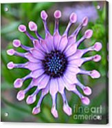 African Daisy - Square Format Acrylic Print