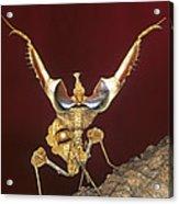 African Devil Mantis Acrylic Print