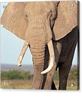 African Elephant Bull Amboseli Acrylic Print