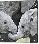 African Elephant Calves Loxodonta Acrylic Print
