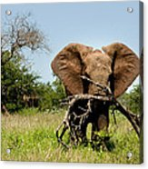 African Elephant Carying A Tree With Its Trunk Acrylic Print