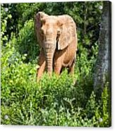 African Elephant Coming Through Trees Acrylic Print