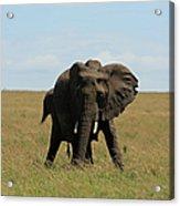 African Elephant Masai Mara Kenya Acrylic Print