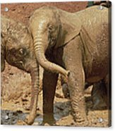 African Elephant Orphans Playing In Mud Acrylic Print