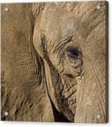 African Elephant Acrylic Print
