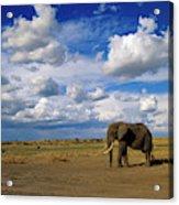 African Elephant Walking Masai Mara Acrylic Print