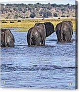 African Elephants Crossing Chobe River  Botswana Acrylic Print