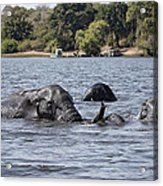 African Elephants Swimming In The Chobe River Acrylic Print