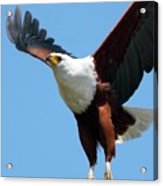 African Fish Eagle In Flight Acrylic Print
