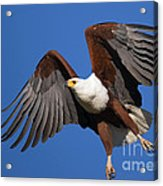 African Fish Eagle Acrylic Print