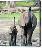 African Forest Elephant And Calf Acrylic Print