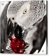 African Grey And Cherry  Acrylic Print