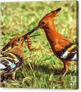 African Hoopoe Feeding Chick Acrylic Print