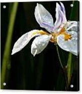 African Iris Dewed Acrylic Print