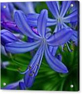 African Lily Acrylic Print
