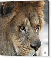 African Lion #8 Acrylic Print