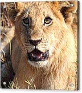 African Lion Cub Resting Acrylic Print