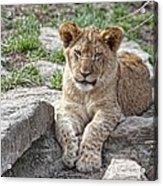 African Lion Cub Acrylic Print