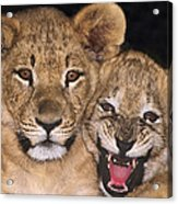 African Lion Cubs One Aint Happy Wldlife Rescue Acrylic Print