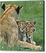 African Lion Cubs Study The Photographer Tanzania Acrylic Print