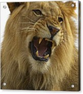 African Lion Male Growling Acrylic Print by San Diego Zoo