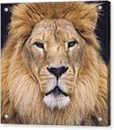 African Lion Male Portrait Acrylic Print