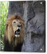 African Lion Roar Acrylic Print