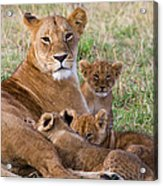 African Lioness And Young Cubs Acrylic Print