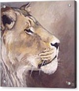 African Lioness On Alert Acrylic Print