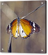 African Monarch Butterfly Acrylic Print