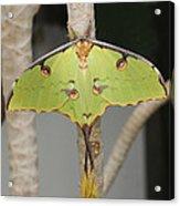 African Moon Moth Acrylic Print