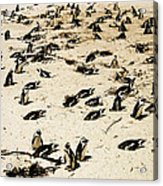 African Penguins Acrylic Print by Oliver Johnston