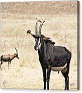 African Plains V2 Acrylic Print