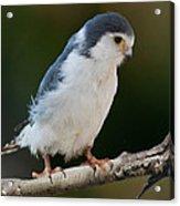 African Pygmy Falcon Acrylic Print