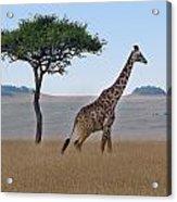 African Safari Giraffes 2 Acrylic Print