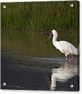 African Spoonbill   #0202 Acrylic Print