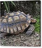 African Spurred Tortoise Acrylic Print