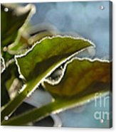 African Violet Leaves With Bokeh   Acrylic Print